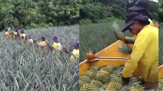 Amazing teamwork to collect pineapples