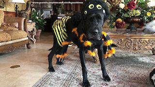Great Dane models spider bumble bee Halloween costume