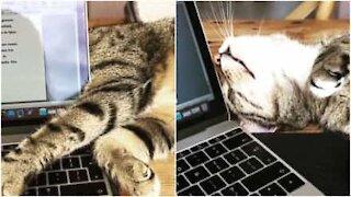 Questo gatto non fa lavorare nessuno
