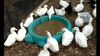 Ducks Around the Turtle Pool