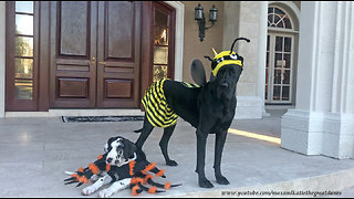 Great Danes try out their very first Halloween costumes