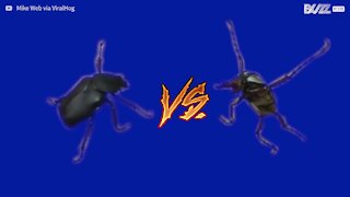 Un'intensa battaglia tra due insetti