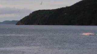 Rare pink whale spotted off Newfoundland, Canada coast