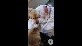 Golden Retrievers preciously watch over baby girl