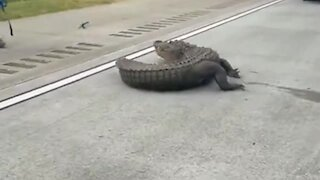 Massive alligator completely stops traffic on Georgia highway