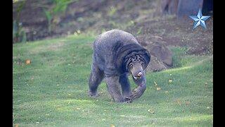 Honolulu Zoo reopens Malay sun bear exhibit