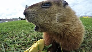 Adorable baby groundhogs eat apples in the warm spring sunshine
