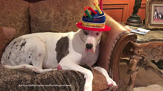 Happy Great Danes get ready for their 8th birthday