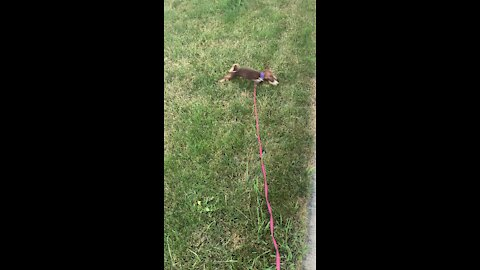 Puppy's First Time On A Leash