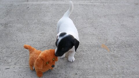 Jack Russell Terriers battle robot puppy