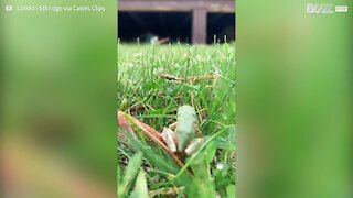Small frog has big problems leaping through tall grass