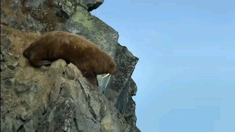 Walrus fail