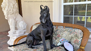 Funny Great Dane Watch Dog Can't Decide Where She Wants To Sit