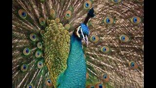 Peacocks explore empty streets of Madrid