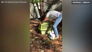 Coala resgatado mostra rápida recuperação em centro na Austrália
