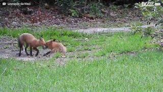 Un trio de renard fait de son jardin une aire de jeu