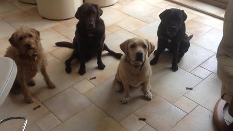 Dogs exhibit patience with synchronized snack trick