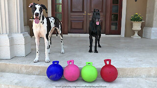 Happy Great Danes Play With New Jolly Balls Horse Toys Gift