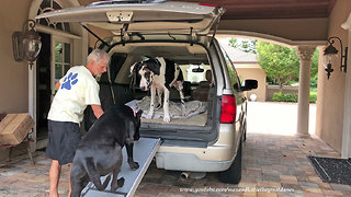Excited Great Danes Can't Wait the Go for a Car Ride