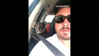 Man in Australia gets surprise visit from koala in his car