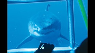Great White Sharks come in close to inspect divers