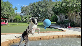 Funny Great Dane Plays Catch And Mom Go Fetch In The Pool