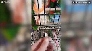 Este pássaro adora um carrinho de controle remoto