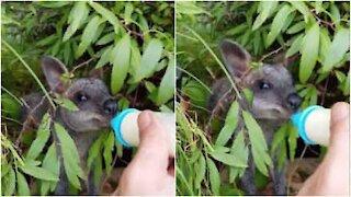 Timido cucciolo di wallaby si alimenta col biberon