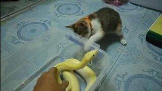 Nysgjerrig katt lekeslåss med en slange