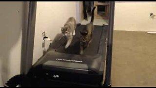 Questi due gatti adorano il tapis roulant!