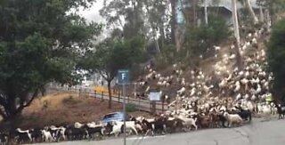 'Skred' av gjeiter stopper traffikken i California