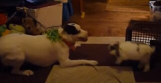 Pitbull and Dachshund Play with Bunny