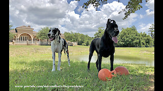 Happy Great Danes Love Playing And Posing With Jolly Balls