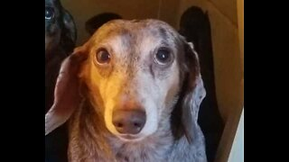 Adorable dachshund begs for owner's kisses