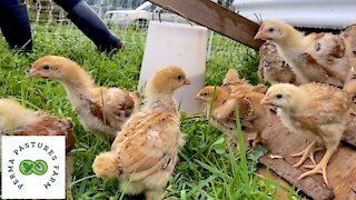 Introducing Chicks To Pasture