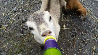 Baby goat makes adorable sounds while drinking her bottle