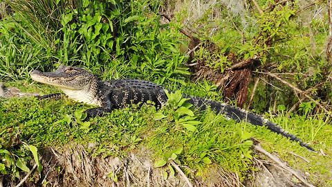 Florida gator lunges at drone!