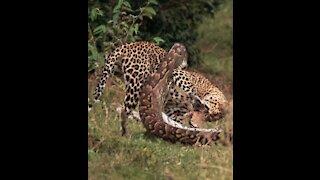 Python Vs Leopard