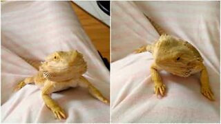 Bearded dragon smiles and waves to her human