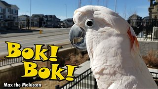 Cockatoo flawlessly clucks like a chicken