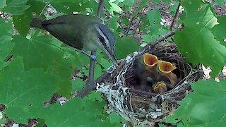 Devoted mother bird feeds her nest of newborn babies