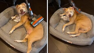 Pit Bull loves to get vacuumed, lies perfectly still