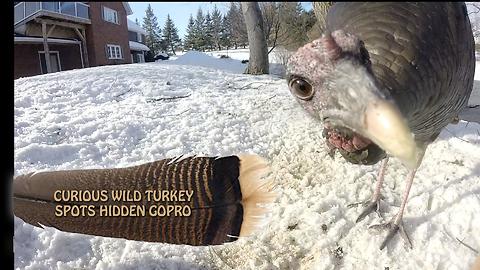 Curious wild turkey spots hidden GoPro