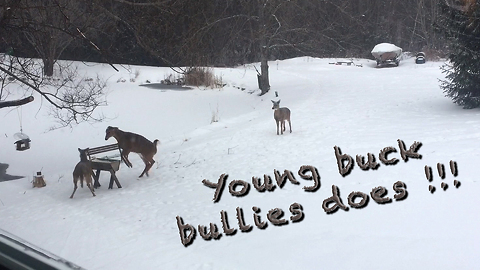 Aggressive young buck bullies two does at feeder