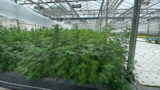 Local greenhouse getting ready to grow marijuana