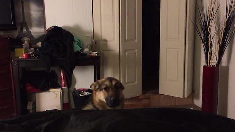 German Shepherd not allowed in bedroom, hides in closet
