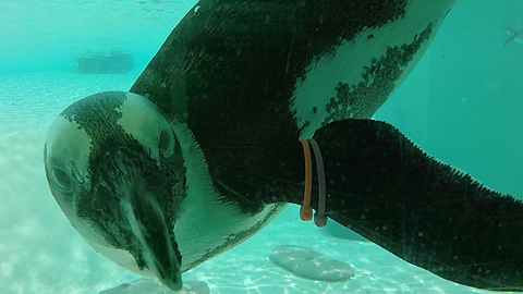 Well-dressed penguins are fascinated with underwater GoPro