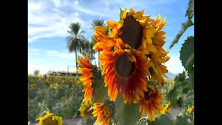 You can play and take pictures in a sunflower field here in Arizona - ABC15 Digital