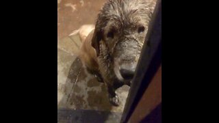 Golden Retriever adorably guilty of playing in the mud