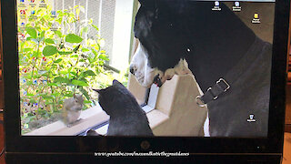 Confused Great Dane barks at animal screensaver